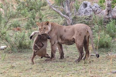 Khỉ đầu chó mẹ bị giết sau một cuộc phục kích khỏi bầy sư tử