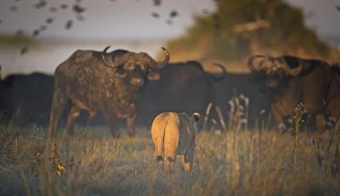 Hai con sư tử chọn trâu rừng đang ở vùng ngập nước làm con mồi