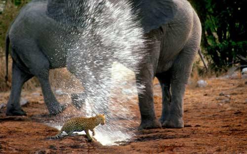 Ảnh đẹp: Voi phun nước xua đuổi báo