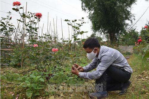 Anh Phạm Viết Toản đam mê với nghề trồng hoa hồng cổ.