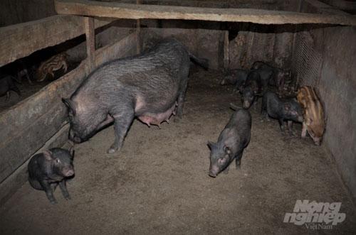 Mô hình đã giúp duy trì được giống lợn bản địa cho chất lượng thịt thơm ngon và có hiệu quả kinh tế cao. Ảnh: Đào Thanh.