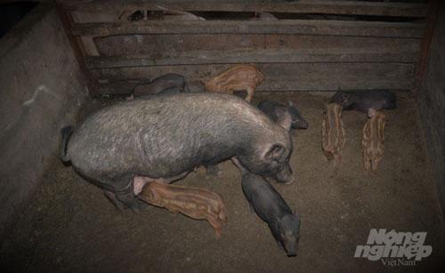 Giống lợn mẹ được lấy từ giống lợn Mán bản địa của tỉnh Hà Giang lai tạo với lợn đực là lợn rừng lai. Ảnh: Đào Thanh.
