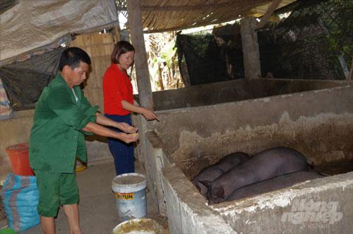 Hiện toàn xã Phú Thịnh có 170 con lợn Mán từ mô hình. Nếu đàn lợn đồng loạt đẻ lứa thứ 2 thì số lượng này có thể tăng thêm 50 con. Chính quyền địa phương đang nỗ lực nhân rộng tổng đàn trong nhân dân và hi vọng đây sẽ là điểm tựa giúp người dân phát triển kinh tế hiệu quả. Ảnh: Đào Thanh.