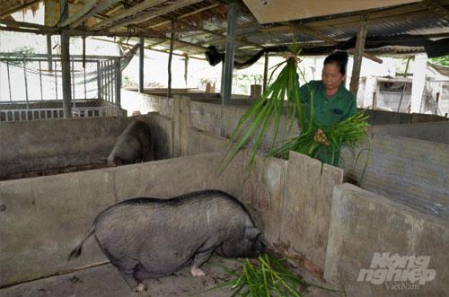 Loài lợn Mán bản địa này có đặc điểm là phàm ăn, sức đề kháng tốt, chăm sóc khá dễ dàng. Thức ăn chủ yếu là cám, cây chuối, thậm chí cả cỏ tươi. Ảnh: Đào Thanh.