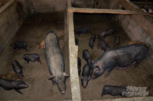 Sau 2 tháng chăm sóc, đàn lợn con có thể xuất chuồng. Hiện nay giống lợn này được người dân ở đây bán từ 2 đến 3 triệu đồng/con lợn giống (tùy trọng lượng). Ảnh: Đào Thanh.