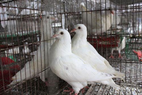 Trung bình, mỗi tháng Thắng thu lãi hơn 15 triệu đồng từ loài chim này. Ảnh: Mai Chiến.