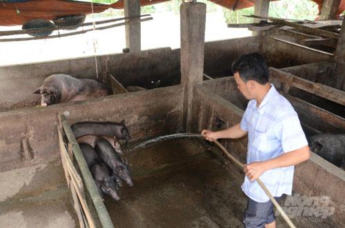 Mô hình chăn nuôi lợn sinh sản giống bản địa (lợn Mán) theo hướng an toàn sinh học tại xã Phú Thịnh được Trung tâm Khuyến nông tỉnh Tuyên Quang triển khai từ tháng 5 năm 2019 với 40 con lợn bố mẹ/4 hộ tham gia. Ảnh: Đào Thanh.