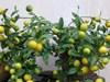 Cách trồng chanh đơn giản, cây sai quả, tươi tốt không hóa chất