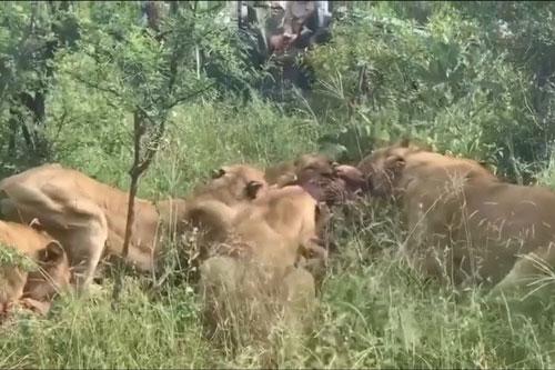 Bị đàn sư tử 'tập kích', báo hoa mai đành phải 'bỏ của chạy lấy người'