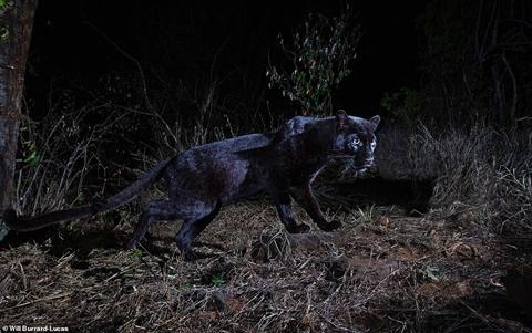 Hình ảnh báo đốm đen châu Phi vừa được công bố