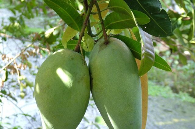 Huyện Mường La hiện có hơn 1.900 ha xoài, trong đó 1.250 ha đã cho quả (Ảnh: TL)
