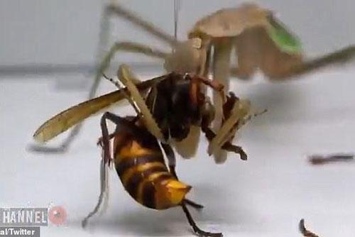 Màn ác chiến 'nghẹt thở' của ong bắp cày khi gặp phải đối thủ 'cứng'