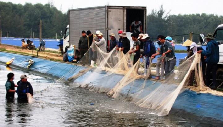 Có lúc giá tôm thương phẩm ở Phong Điền xuống thấp, nông dân khó tiêu thụ (Ảnh: NNVN).