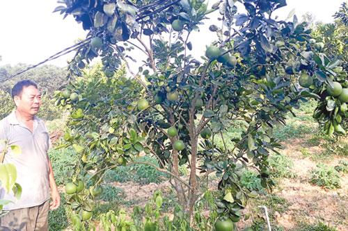 Ông Hoàng Trọng Ngọc bên vườn cây ăn trái của gia đình