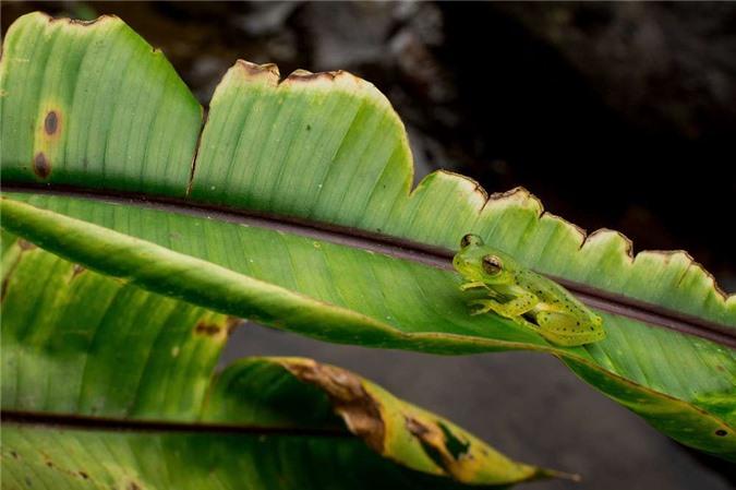 Sự thật về loài ếch có khả năng tàng hình trong môi trường sống