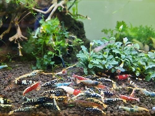 Độc đáo thú chơi tép cảnh bạc triệu ở Đà Lạt