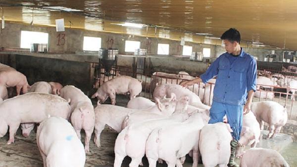 Người nông dân không mấy mặn mà với việc tái đàn lợn trong thời điểm hiện tại