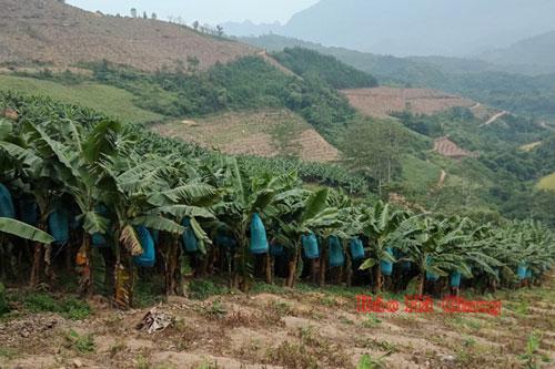 Hà Giang: Phát triển cây ăn quả giá trị kinh tế cao ở Na Khê