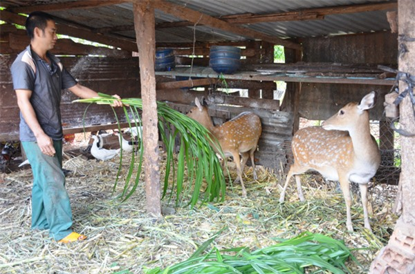 Anh Trần Văn Nam (tổ 6, thị trấn Chư Prông) chăm sóc đàn hươu của gia đình. Ảnh: T.T