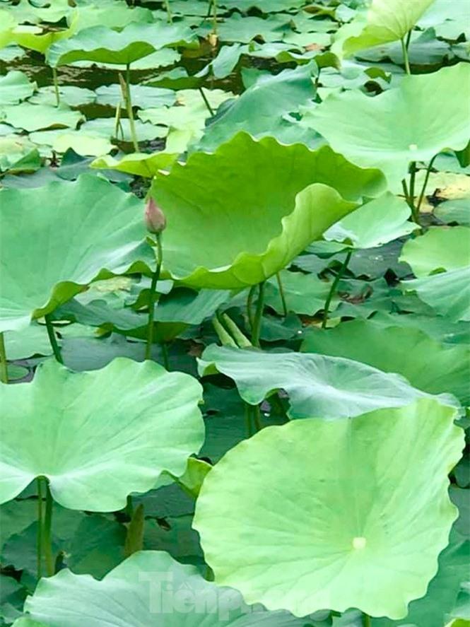 Sen Tây Hồ nở rộ, đẹp lung linh níu chân du khách - ảnh 5