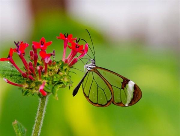 [ẢNH] Vẻ đẹp kỳ diệu trên đôi cánh của một số loài bướm - ảnh 10