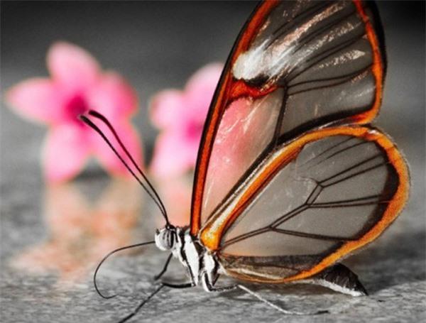 [ẢNH] Vẻ đẹp kỳ diệu trên đôi cánh của một số loài bướm - ảnh 12