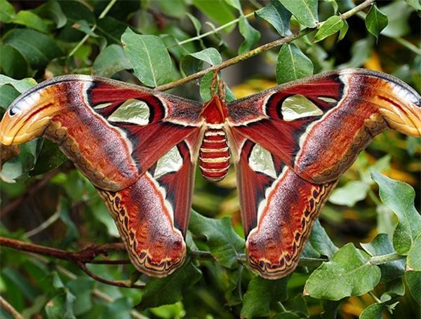 [ẢNH] Vẻ đẹp kỳ diệu trên đôi cánh của một số loài bướm - ảnh 13