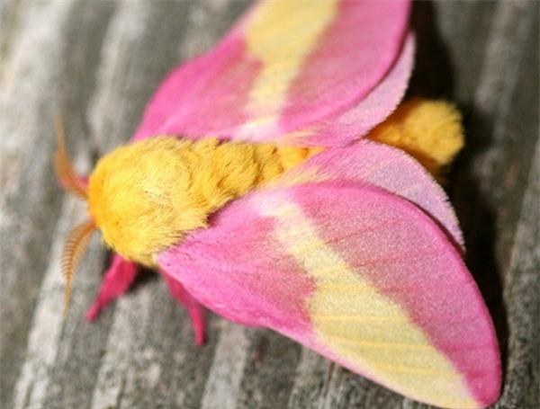 [ẢNH] Vẻ đẹp kỳ diệu trên đôi cánh của một số loài bướm - ảnh 18
