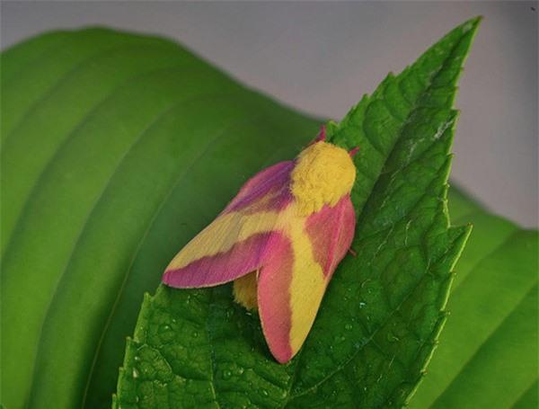 [ẢNH] Vẻ đẹp kỳ diệu trên đôi cánh của một số loài bướm - ảnh 19
