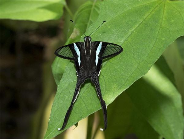 [ẢNH] Vẻ đẹp kỳ diệu trên đôi cánh của một số loài bướm - ảnh 5