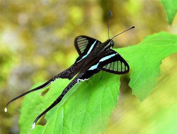 [ẢNH] Vẻ đẹp kỳ diệu trên đôi cánh của một số loài bướm - ảnh 7