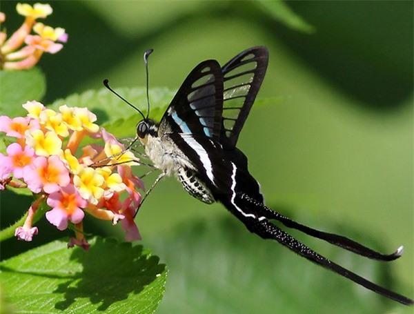 [ẢNH] Vẻ đẹp kỳ diệu trên đôi cánh của một số loài bướm - ảnh 9