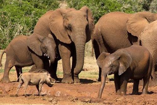 Lợn rừng chiến voi: Kết bất ngờ cho kẻ 'bất cần đời'