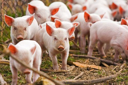 Bộ Nông nghiệp cho phép nhập khẩu lợn sống chính ngạch nhằm bình ổn giá thịt trong nước.