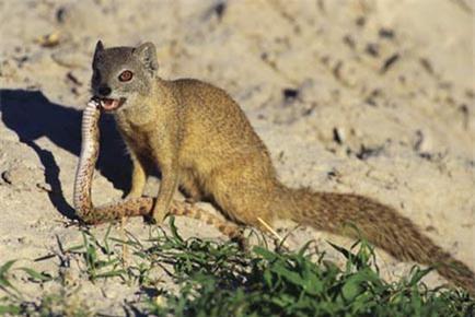 1001 thắc mắc: Những loài vật nào có khả năng kháng độc tuyệt diệu? - ảnh 4