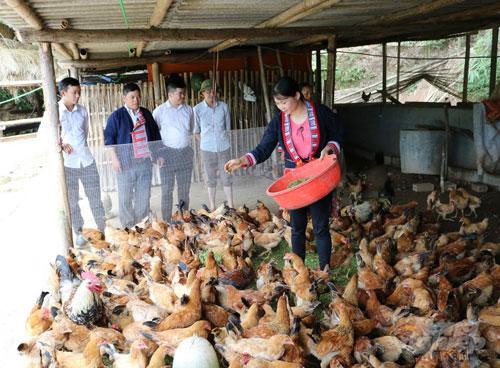 Nhiều hộ gia đình ở Hoàng Su Phì có thu nhập khá từ nuôi gà an toàn sinh học. Ảnh: Lê Hoàn.