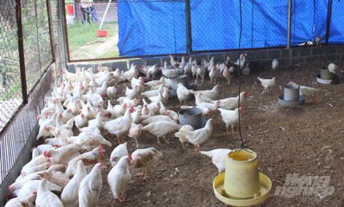 Lứa gà thả đồi chuẩn bị xuất chuồng của gia đình chị Phàn Mùi Pham. Ảnh: Lê Hoàn.