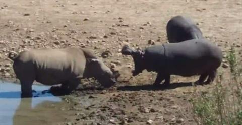 Tê giác tới vũng nước khiến đôi hà mã tức giận