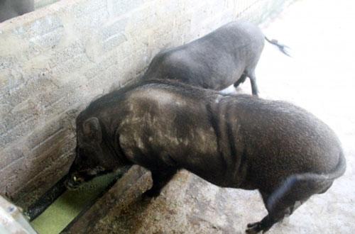 Thanh Hóa: Cho lợn rừng ăn 'chè khổng lồ', lãi 300 triệu đồng mỗi năm