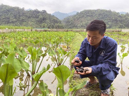 Anh Nguyễn Văn Sáu (xã Đồng Thắng, Chợ Đồn) kết hợp nuôi ốc nhồi với trồng cây tai tượng để làm thức ăn và che nắng cho ốc.