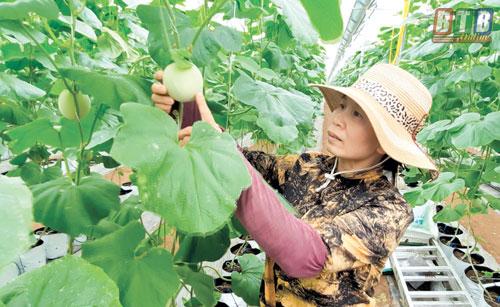 Chị Trần Thị Nhàn thường xuyên kiểm tra chất lượng dưa.