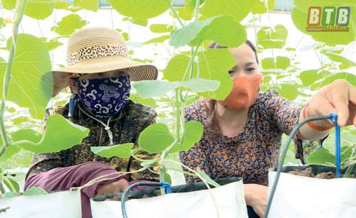 Mô hình trồng dưa trong nhà lưới thu về gần 11 tấn/năm.
