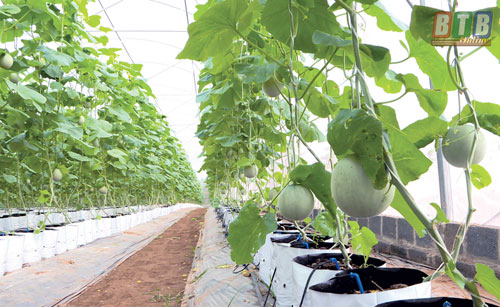 Thái Bình: Hiệu quả mô hình trồng dưa trong nhà lưới