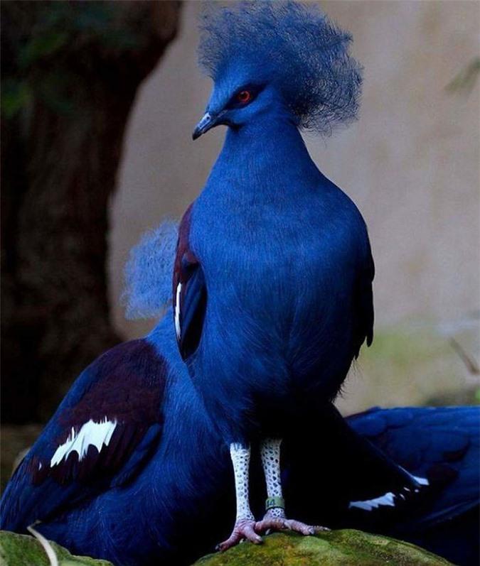 Hoá ra trên đời có lắm loài bồ câu đẹp đến thế! - Ảnh 13.