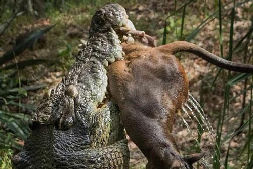 Vào đầm lầy uống nước, Kangaroo bị tập kích bất ngờ: Kẻ đi săn dùng đòn kinh điển gì để kết liễu mạng nó?