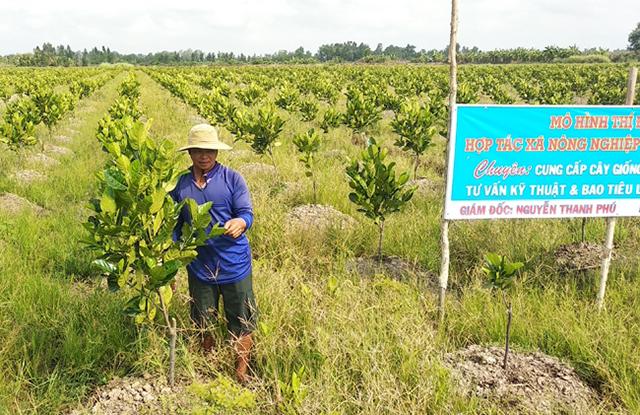 Các HTX, tổ hợp tác sẽ là điểm tựa để nông dân trồng mít siêu sớm phát triển đúng hướng (Ảnh TL)