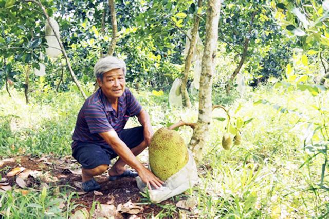 """Mít siêu sớm đang có tiềm năng trở thành """"cây làm giàu"""" cho nông dân Vĩnh Long (Ảnh Tư liệu)"""