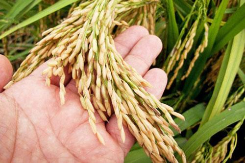 Xuất khẩu gạo tăng lượng, được giá cao