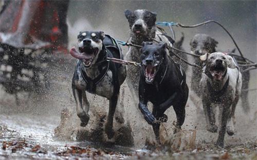 Ảnh đẹp: Giải vô địch đua xe chó kéo châu Âu - 6