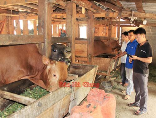 Liên kết chăn nuôi bò vỗ béo tại xã Lùng Tám cho thu nhập trung bình 90 - 100 triệu đồng/thành viên/năm.